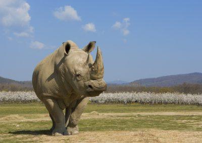 rhinocerosblanc-mai2010-creditphotoarthusboutin